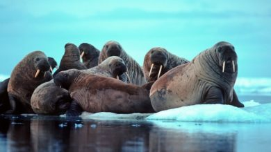Photo of The Facts To Know About Walruses